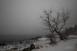 Einen verschneiten Baum an der Küste des Hardangarfjord