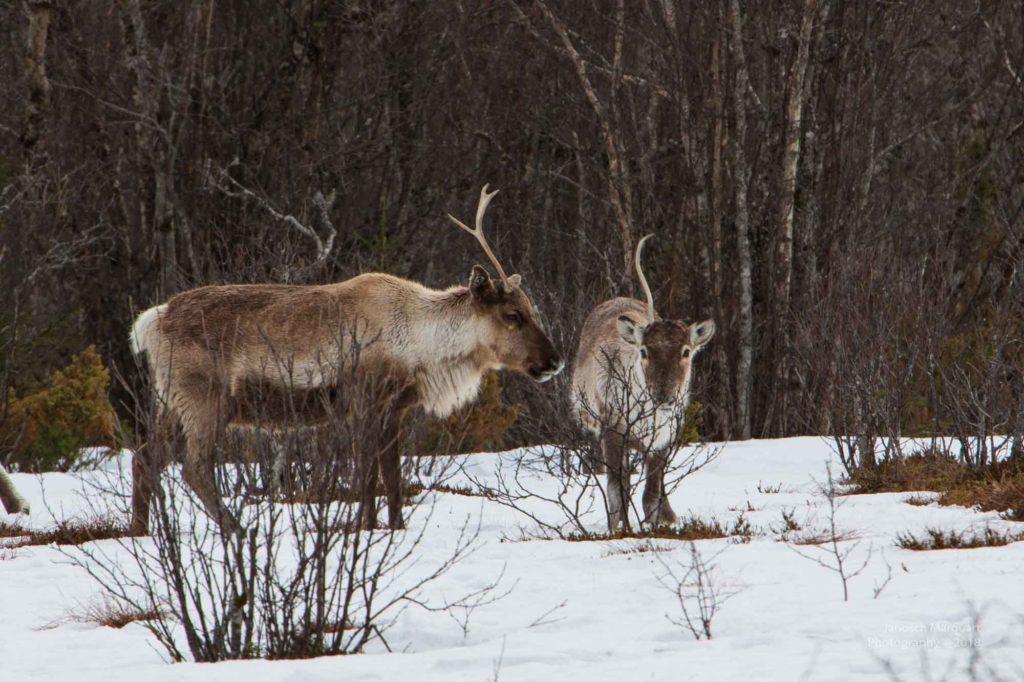 Bild zweier Rentiere die nur noch die Hälfte der Hörner haben.
