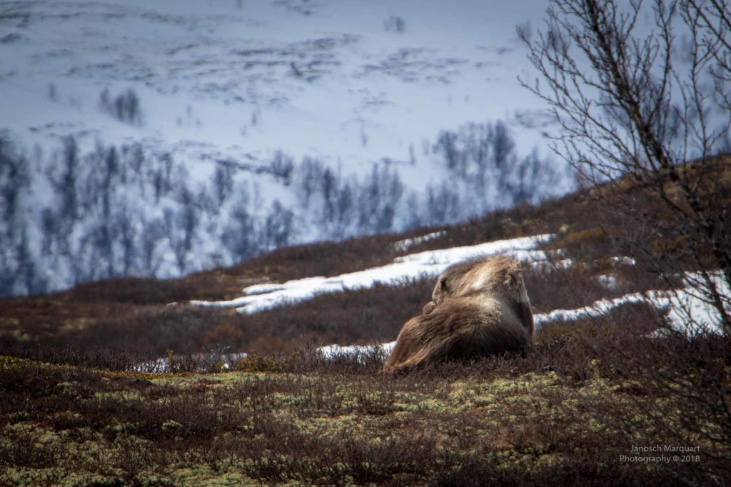 Bild eines liegenden Moschusochsen.