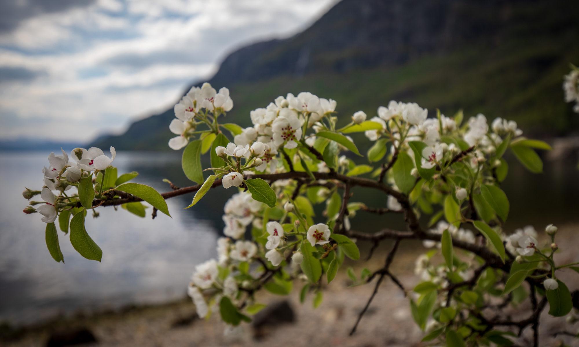 Foto eines Kirschblütenzweigs vor einer Fjordkulisse.
