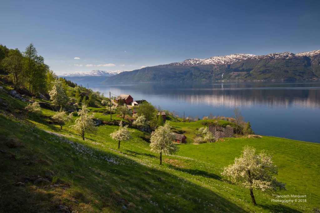Bild meherer Kirschbäume in Blüten am Hardangerfjord