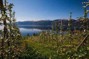 Foto einer Obstplantage mit Blick auf den Hardangerfjord.