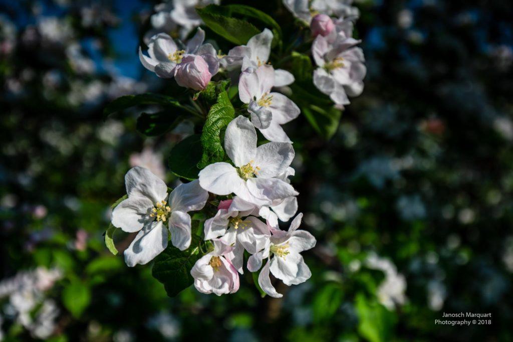 Foto vieler Obstblüten.