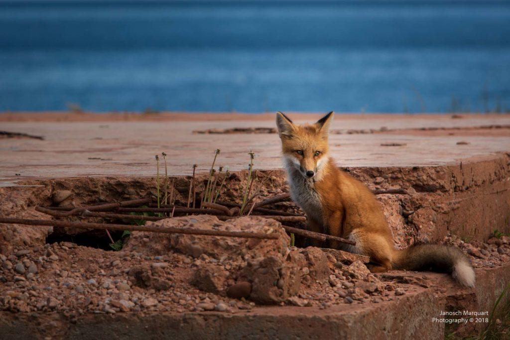 Foto eines Fuchs auf PEI auf einem abgerissenen Fundament.