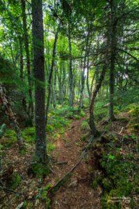 Foto eines bewurzelten Waldwegs im Pukaskwa Nationalpark.