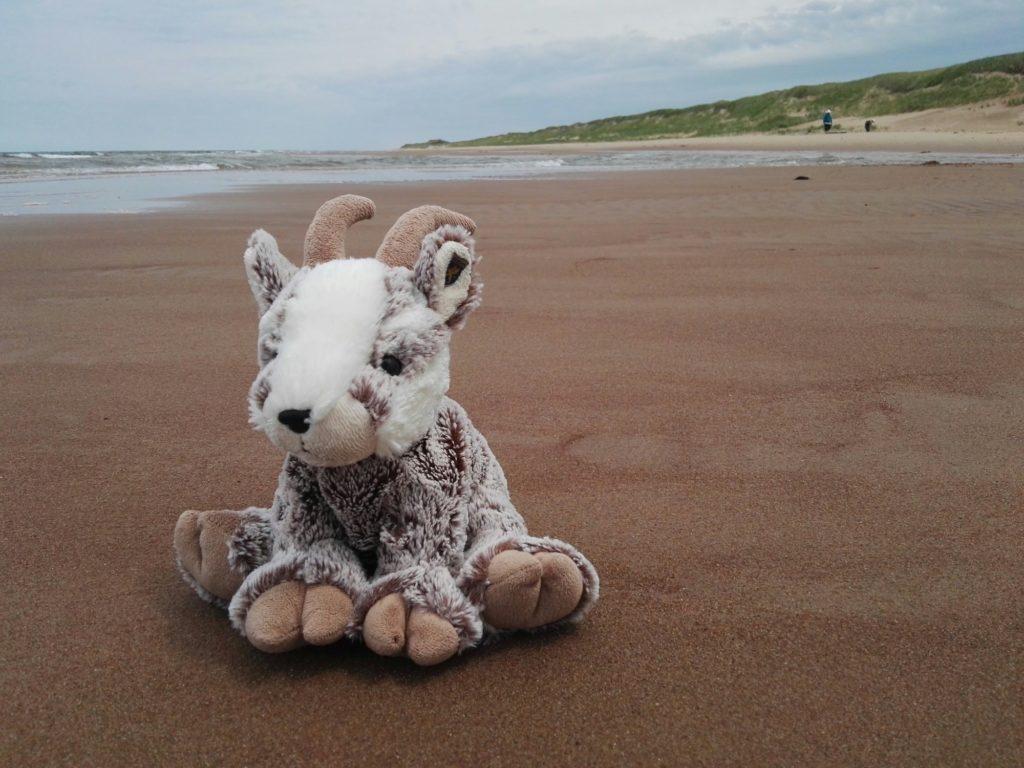 Balznerbock sitzt am Strand, im Hintergrund eine Sanddüne
