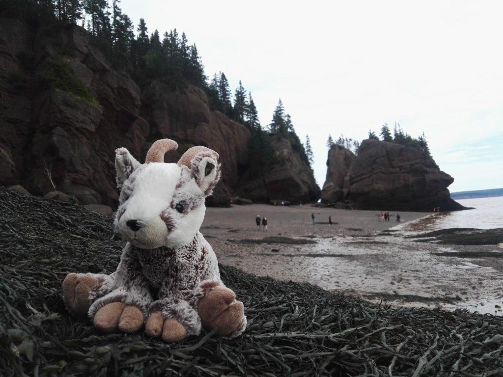 Balznerbock sitzt bei den Hopewellrocks auf dem Seegras und hofft, dass er dort trocken bleibt.