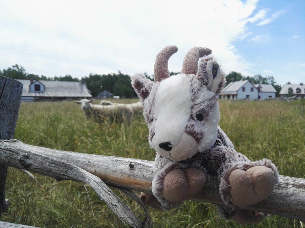 Balznerbock sitzt auf dem Zaun und leistet den Schafen Gesellschaft
