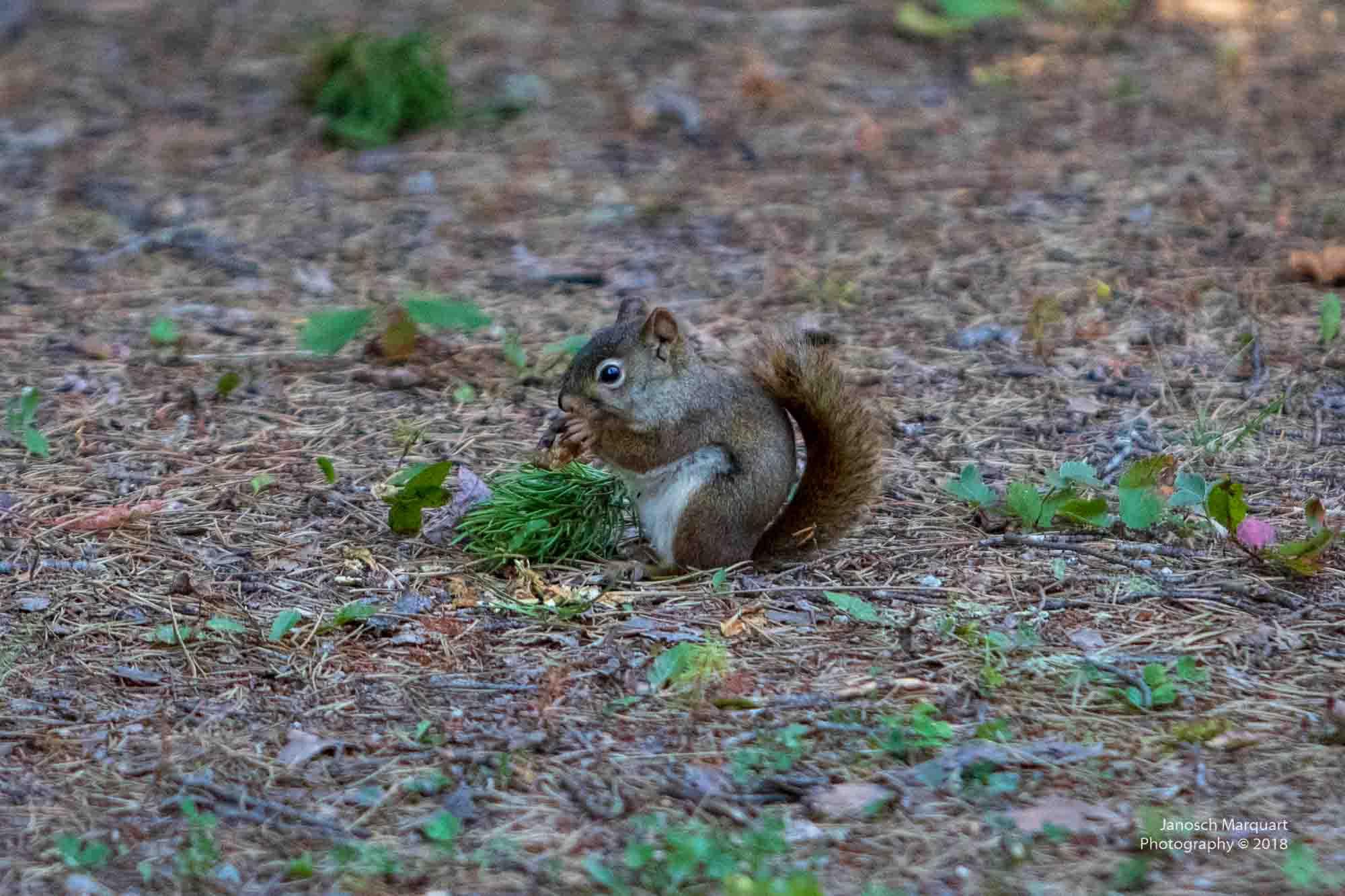 Eichhörnchen beim Nussknacken