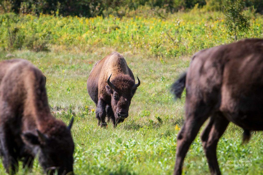 Drei Bisons aus einer Herde von 40 Tieren.