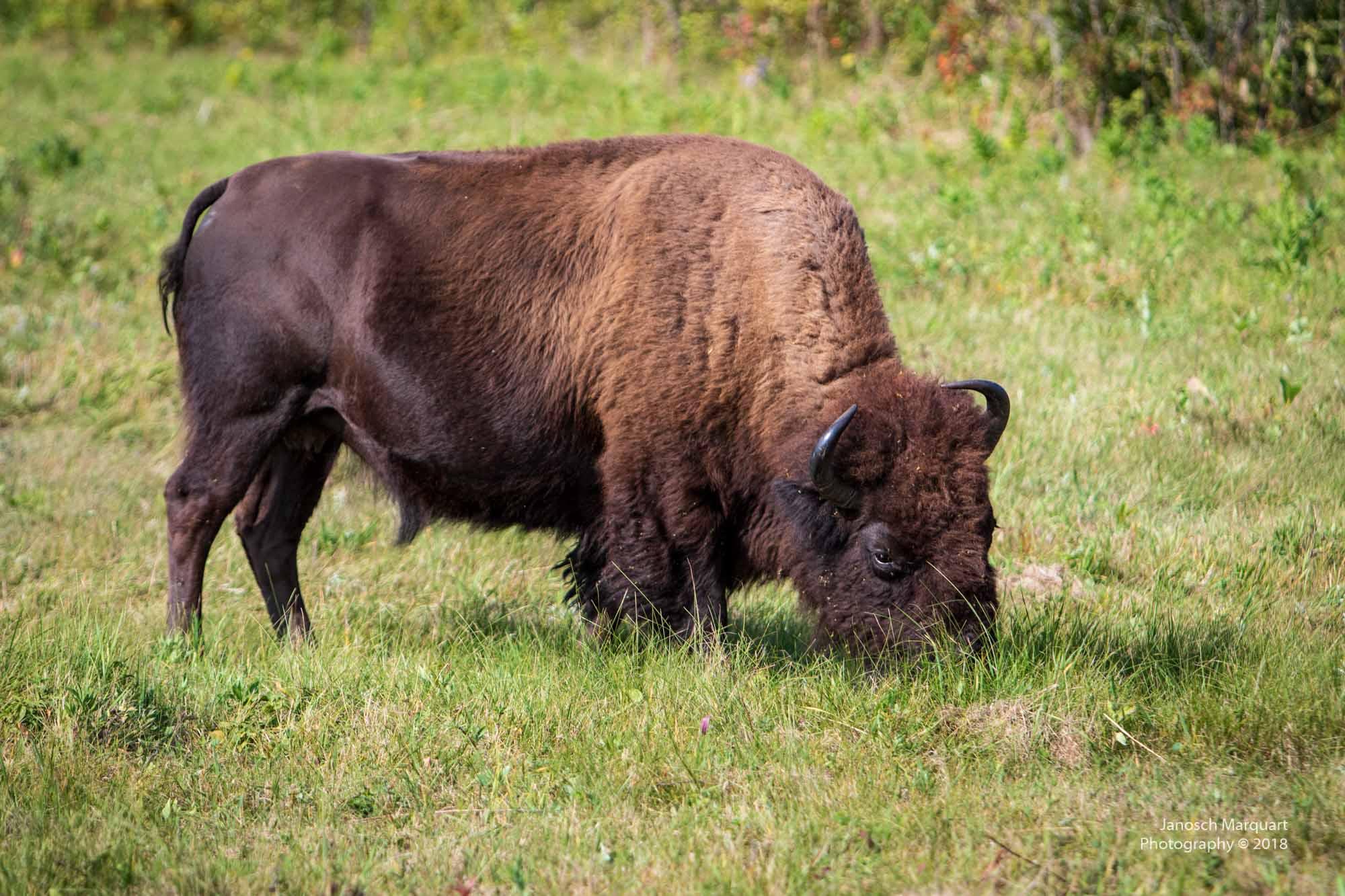 Nahaufnahme eines Bison Bullens.