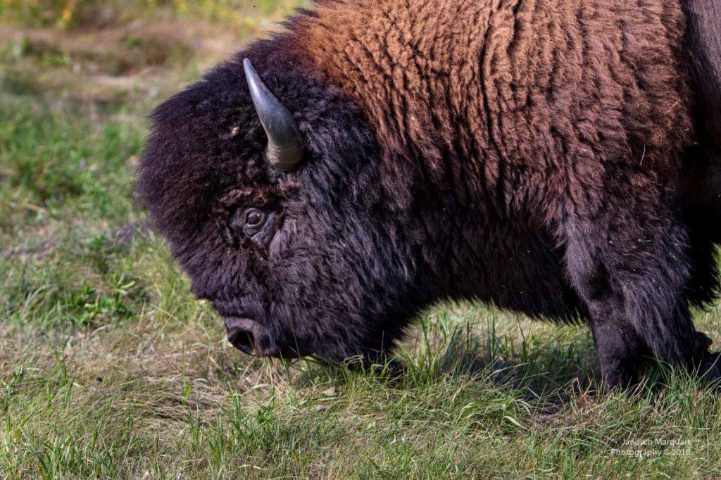Nahaufnahme eines Bison Bullenkopfs.