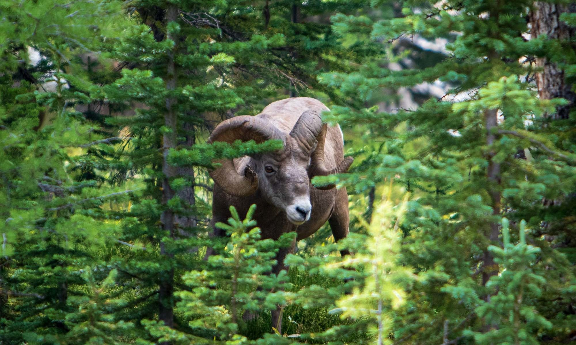 Big Horn Sheep im Wald