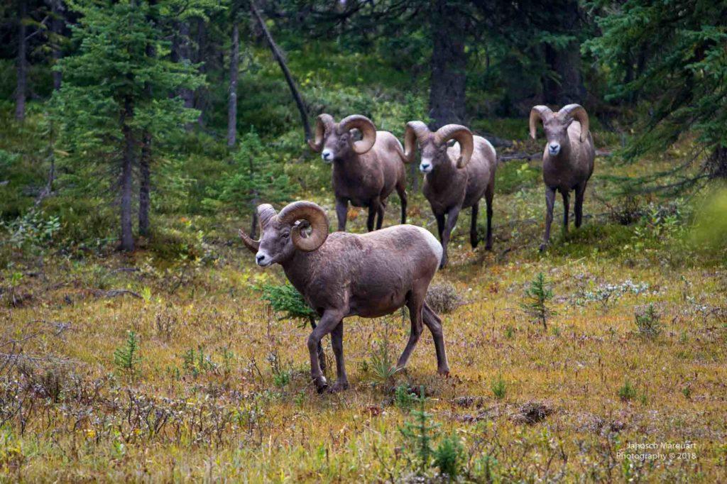 Vier erwachsene, männliche Big Horn Sheeps.
