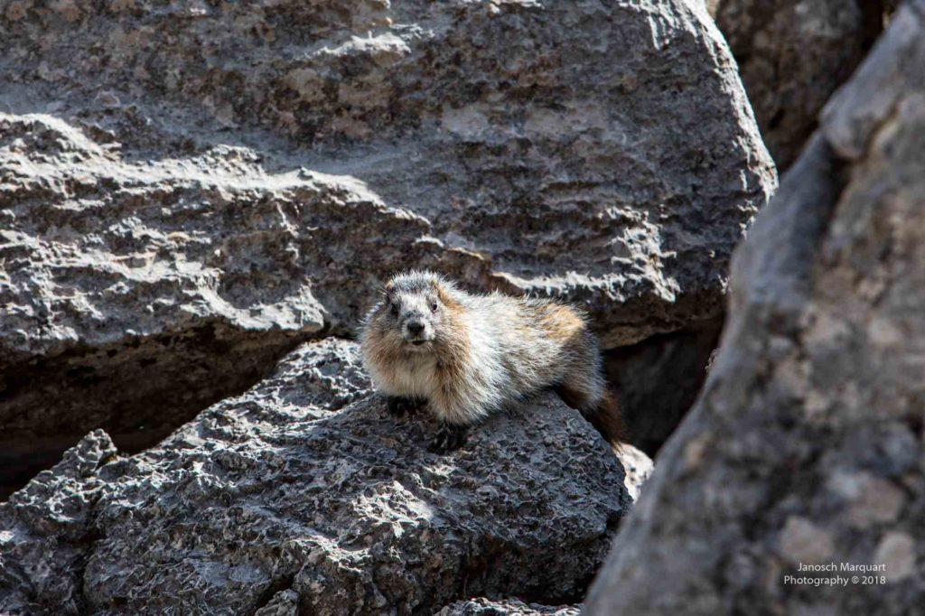 Murmeltier auf Felsen.