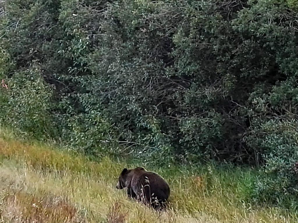Foto eines Grizzlybärs am Strassenrand.
