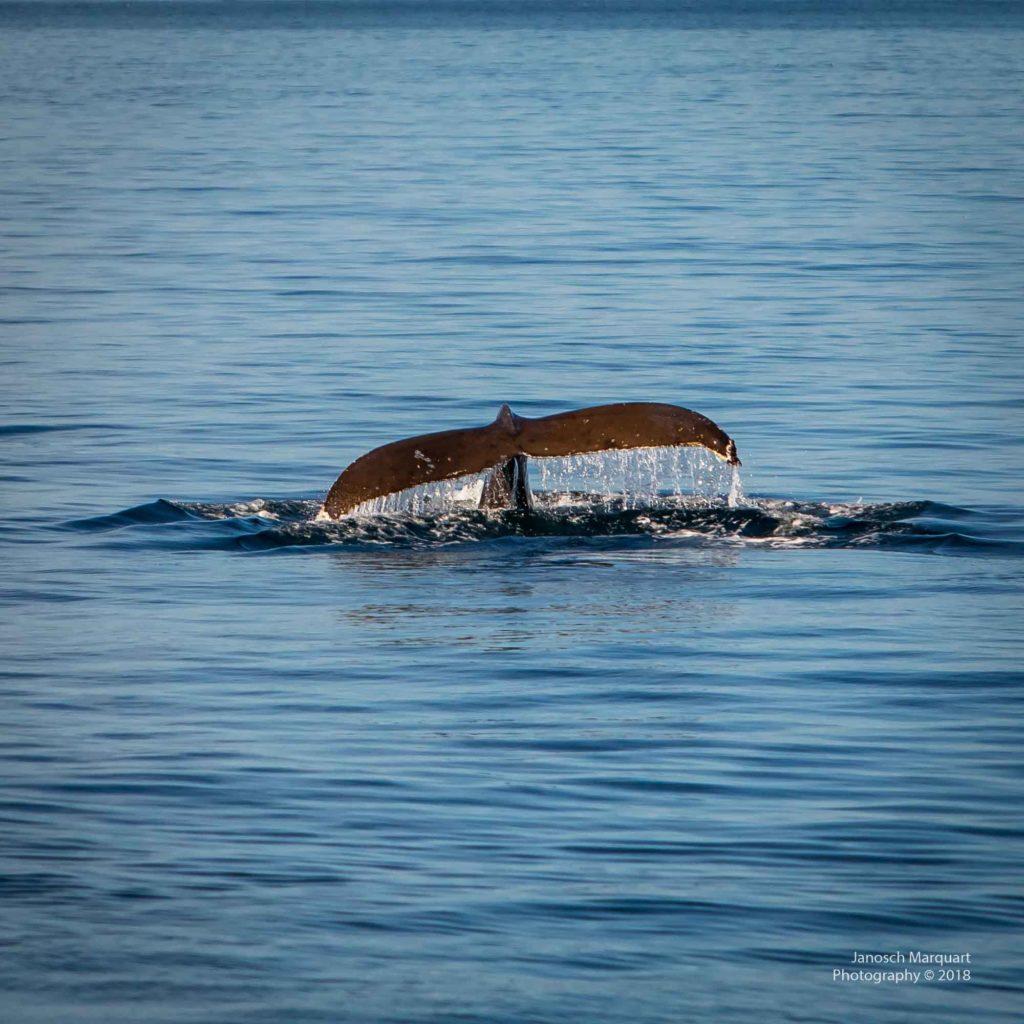 Schwanzflosse eines jungen Buckelwals.