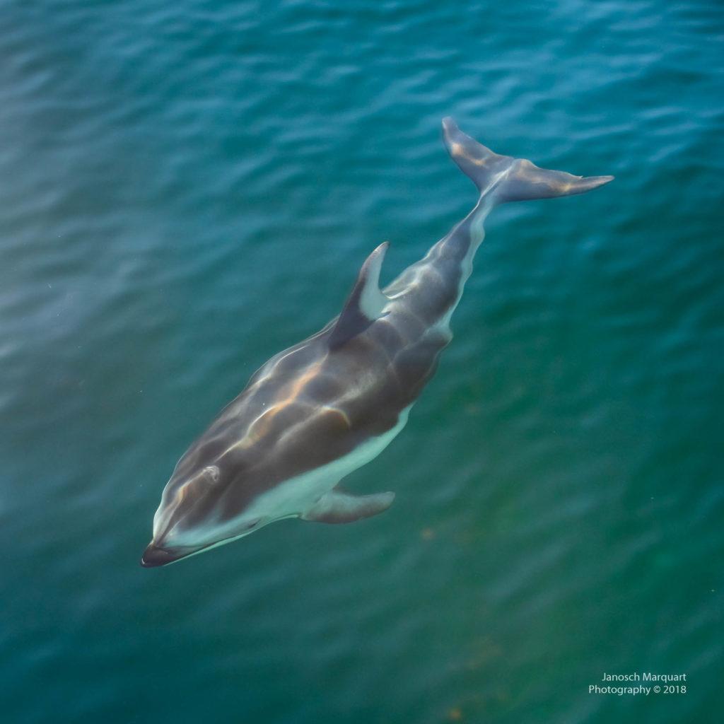 Pazifischer Delfin direkt neben dem Boot.