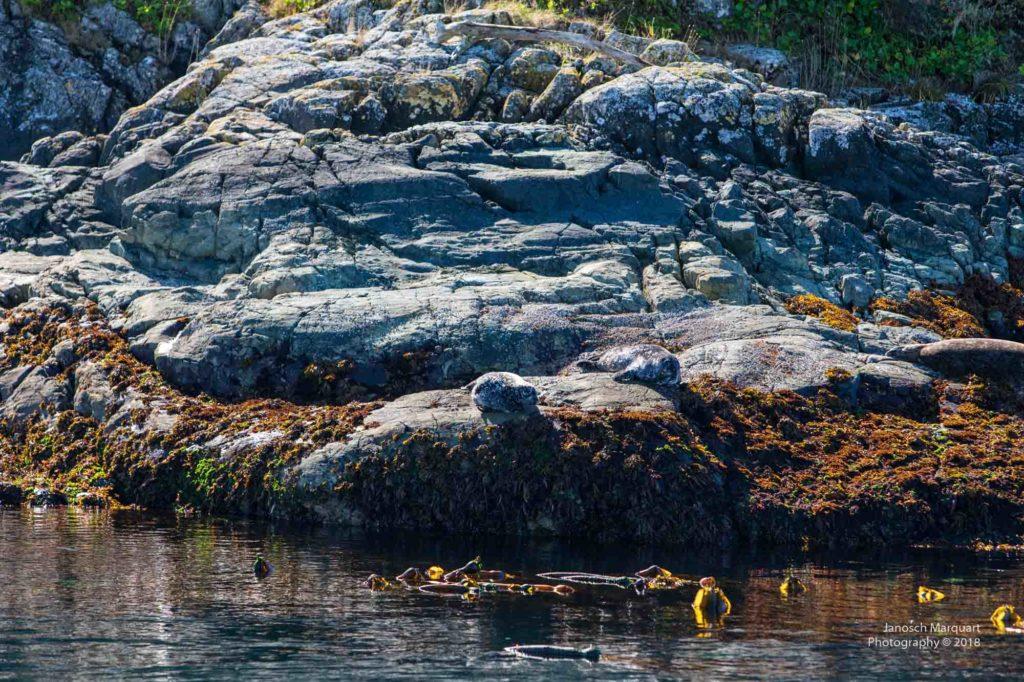 Getarnte Robben auf eine Felsen.