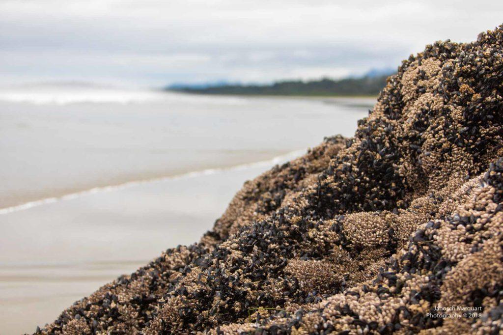 Muschelfelsen am Strand.
