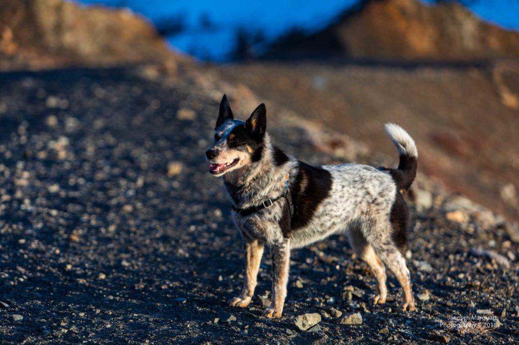 Roo, die Hündin auf dem Berg.
