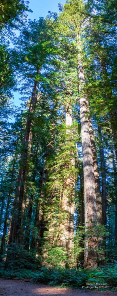 Redwood in Stout Grove