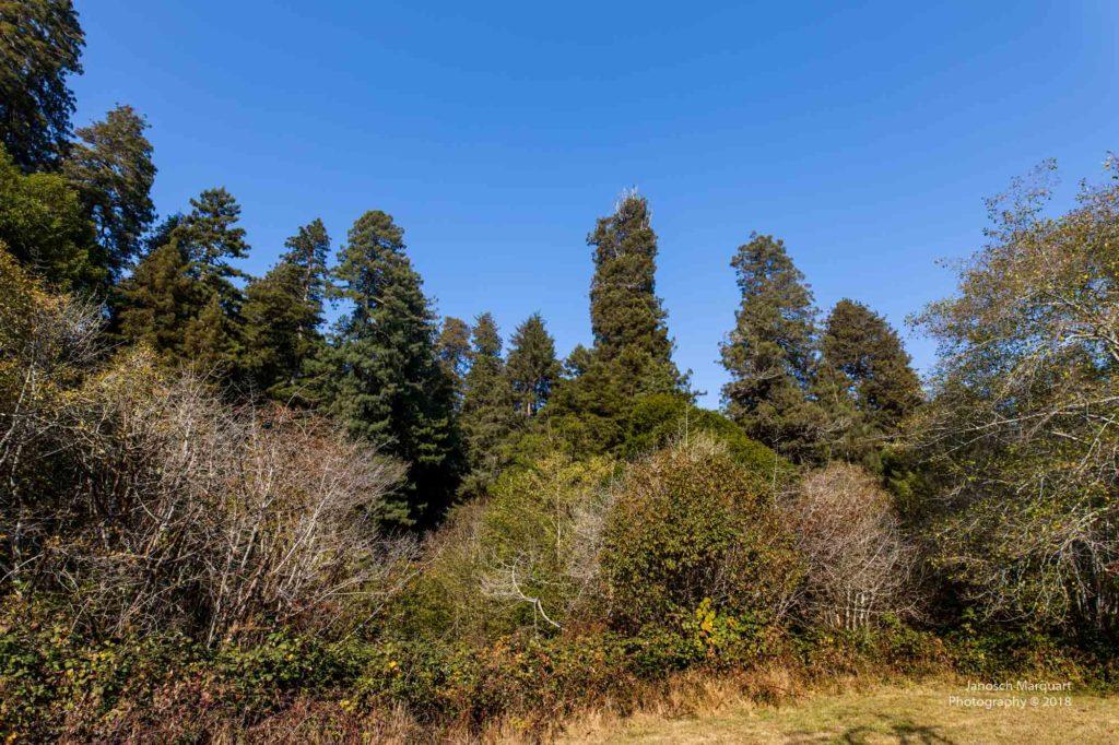Waldrand gesäumt von mächtigen Redwoods.