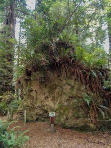 Grosse Wurzel mit neuen Bäumen, die darauf wachsen.