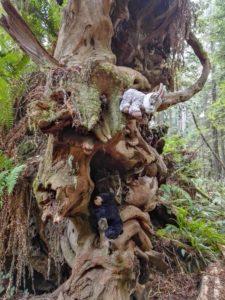 Balznerbock und Beary klettern auf einer Wurzel eines umgefallenen Redwoods herum.