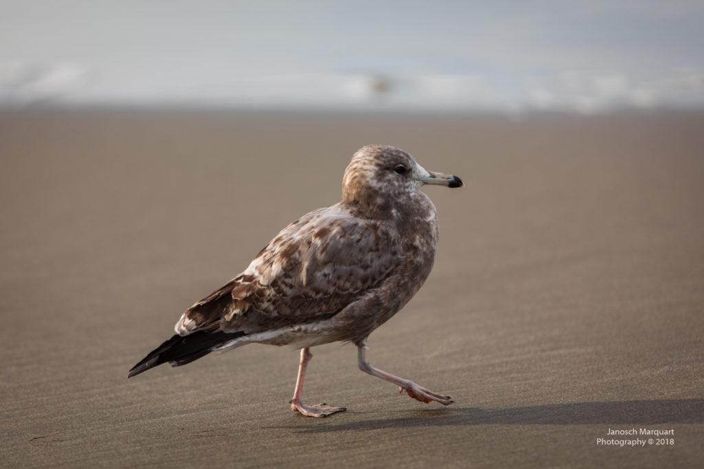 Einsame Möwe am Strand.